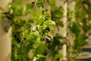 Read more about the article How To Grow Lettuce In A Vertical Garden