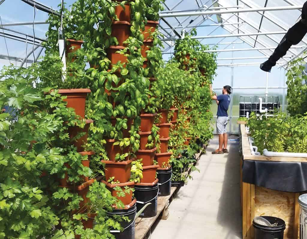 Employee harvesting culinary herbs in a greenhouse aquaponic system.