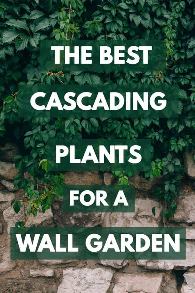 Dark green foliage on a wall garden, The Best Cascading Plants for A Wall Garden