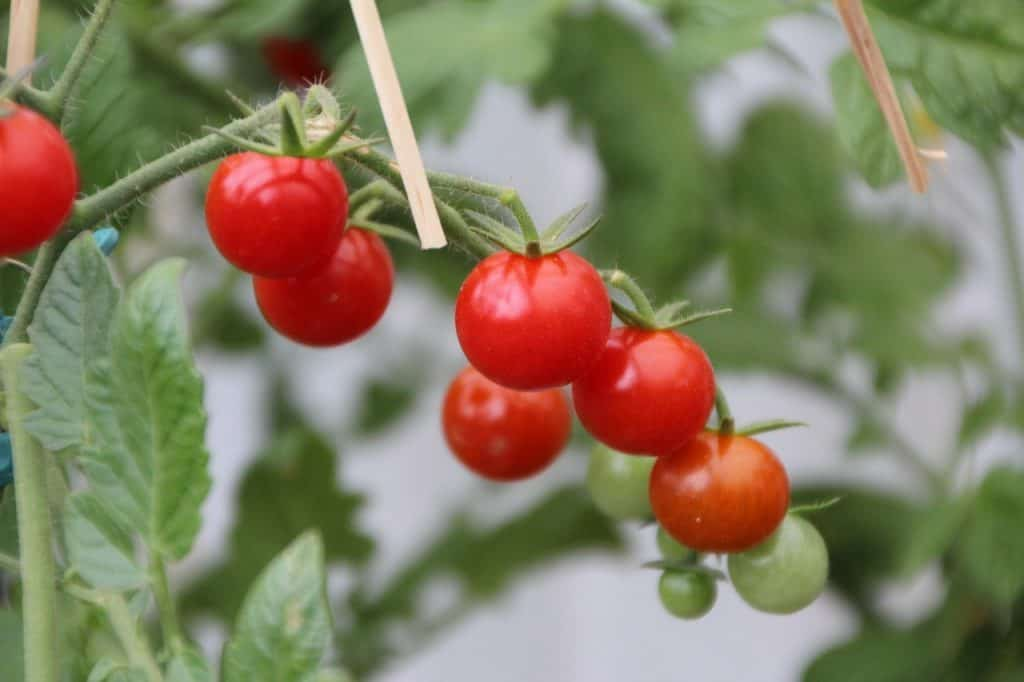 A cluster of red cherry tomatoes with a few unripe green fruit on the background