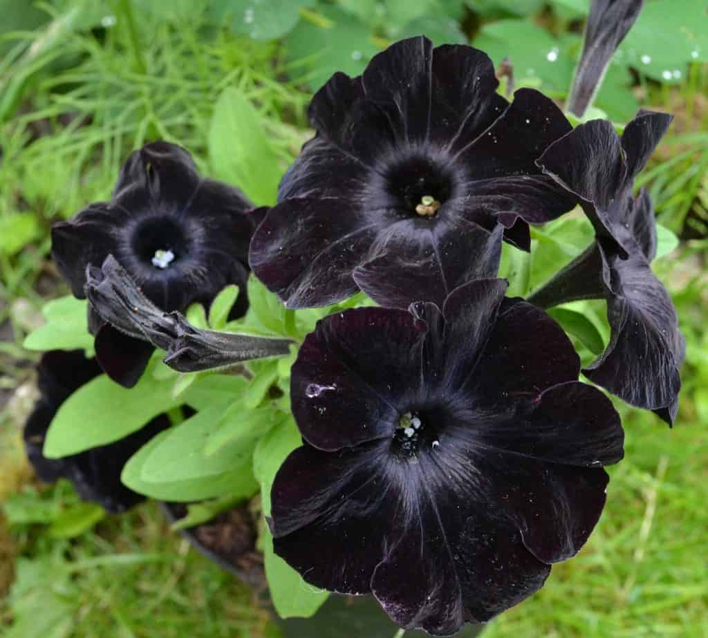 Black Petunias Facts Care Tips And Pictures Garden Tabs