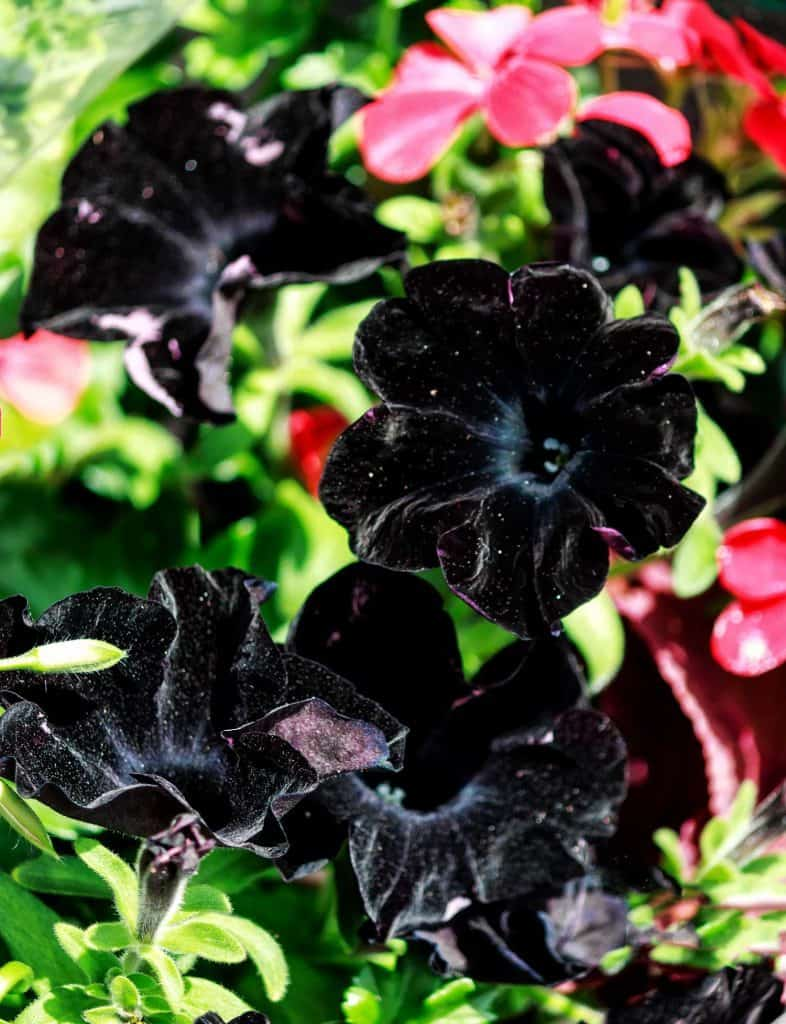 Close up photo of a black Petunia with red petunia at the back