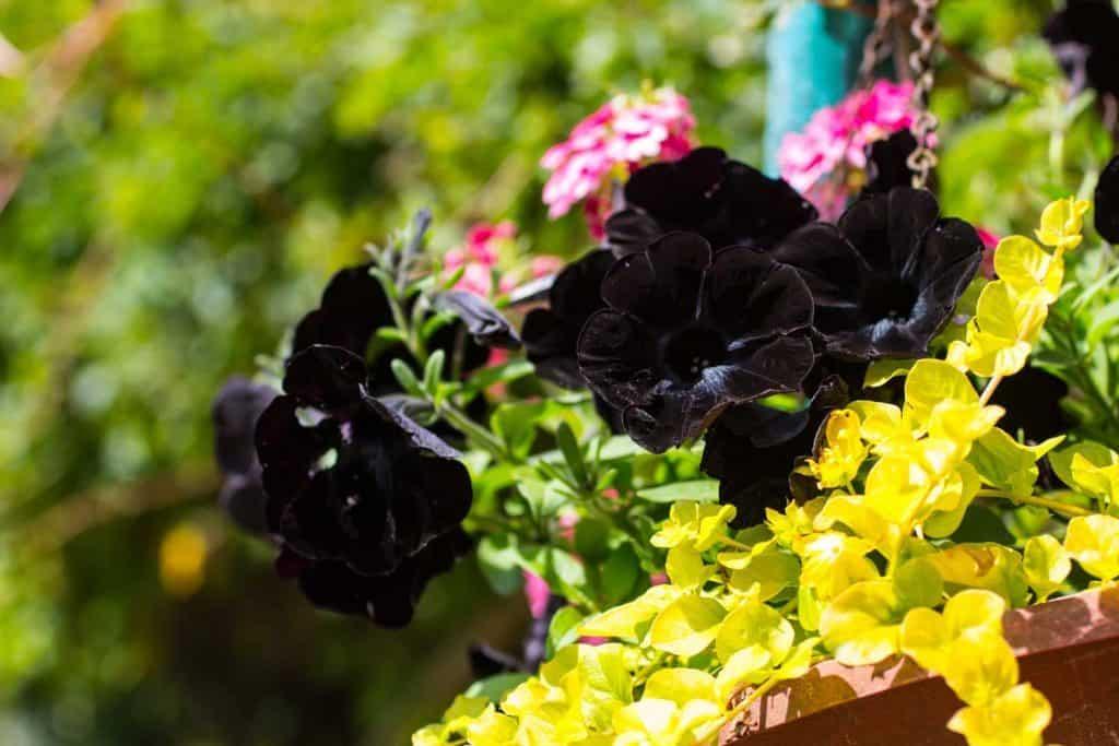 close up shot of a black Petunia