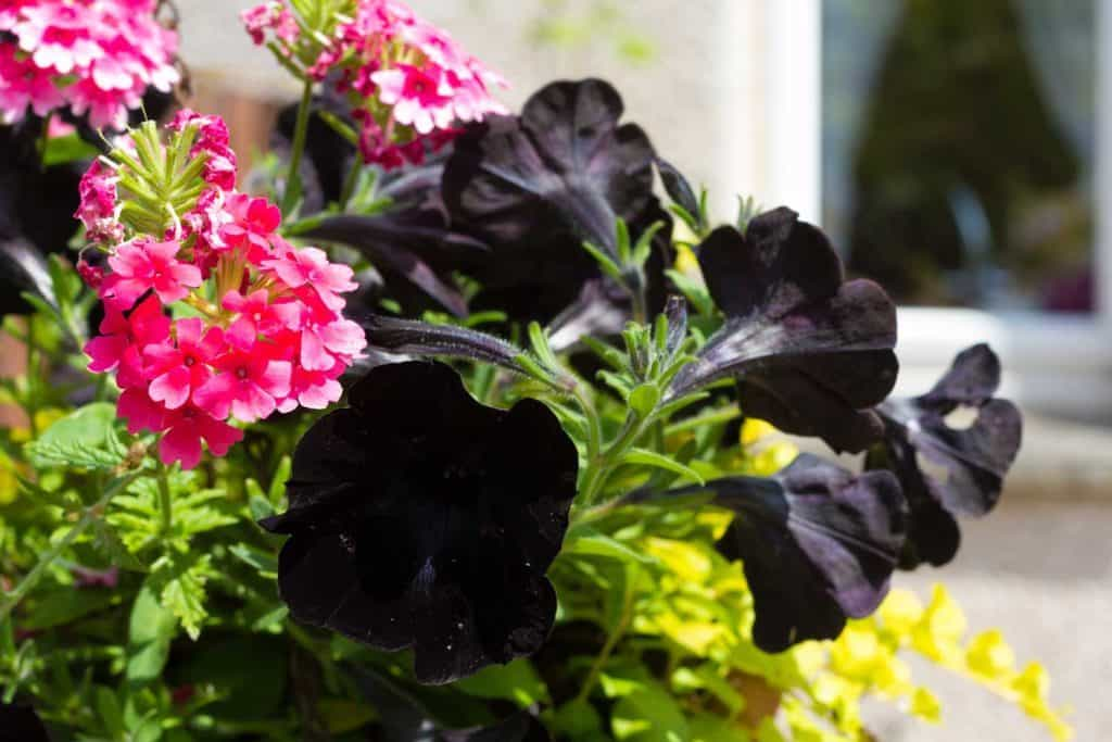 red petunias and black Petunias at close up shot
