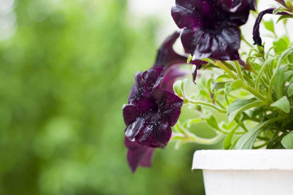 violet hue Petunia close up shot