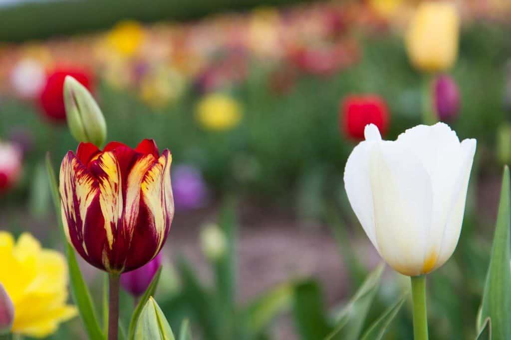 yellow, white and dark red Striped Tulips close up shot