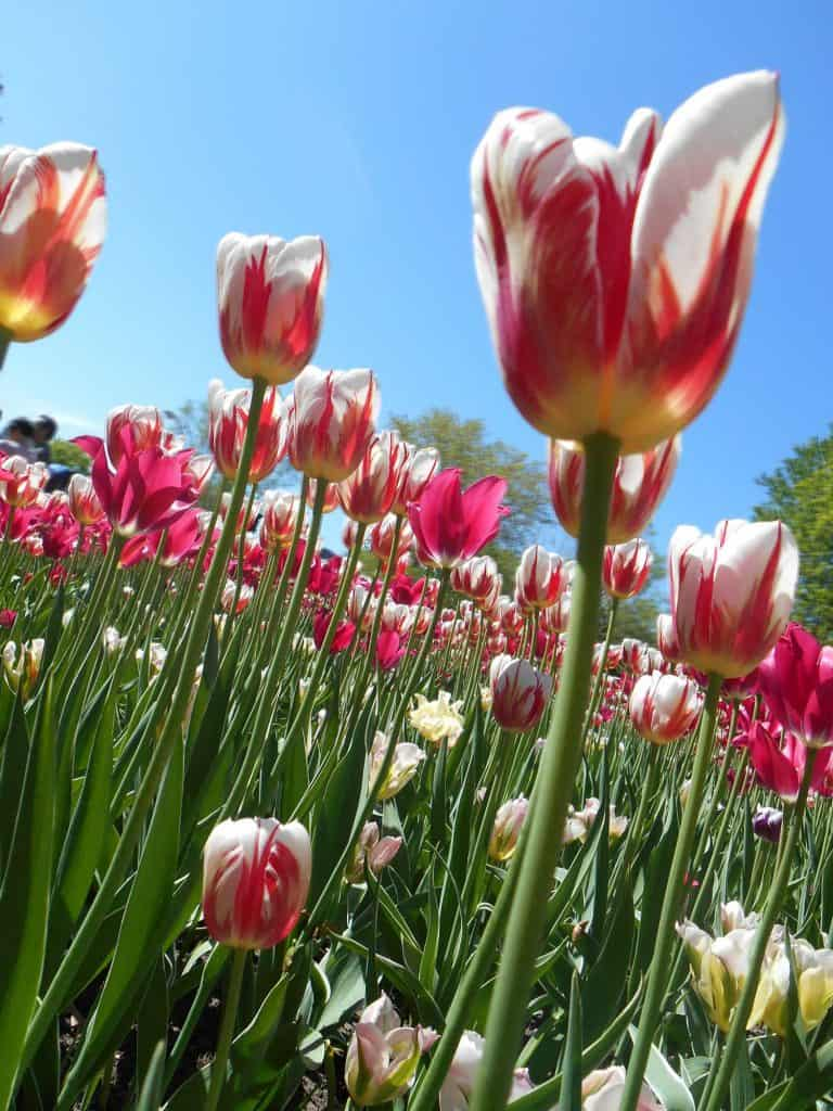 White-Yellow and Red Striped Tulips