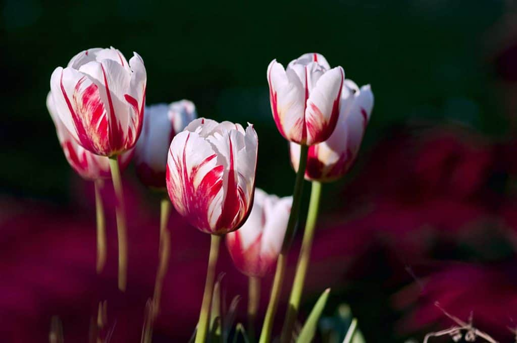 White-red Striped Tulips close up shot