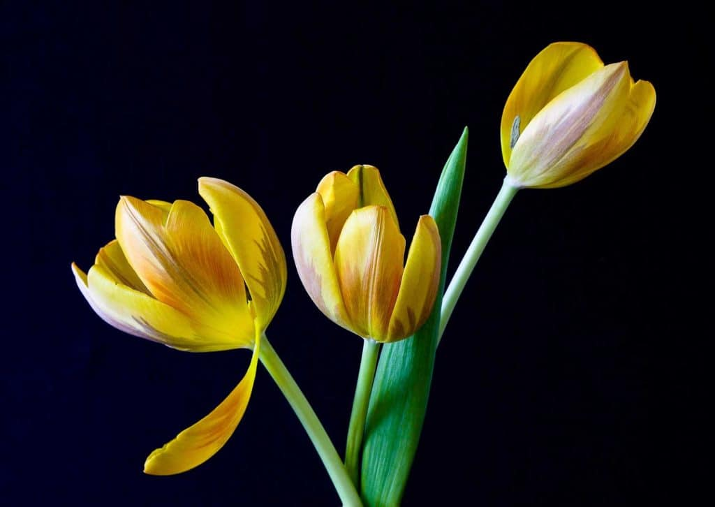 Yellow and white Striped Tulips close up shot