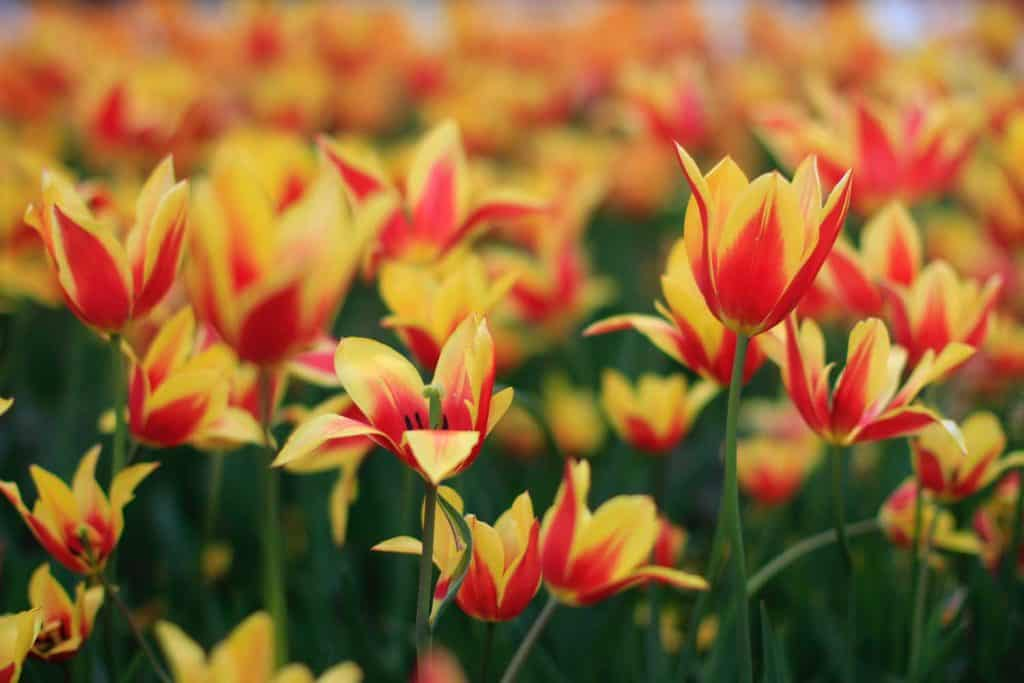 Bloomed yellow and red Striped Tulips