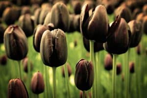 Black Tulips (Pictures, Gardening Tips, and Shopping Links)