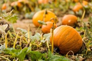 How Long Does It Take to Grow a Pumpkin
