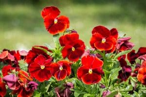 Red Pansies (Pictures, Gardening Tips, and Shopping Links)