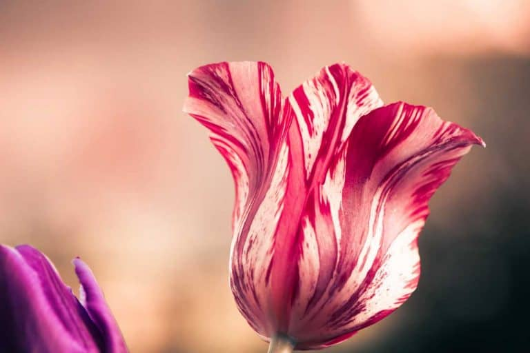 Variegated & Striped Tulips Guide (Pictures & Care Tips)