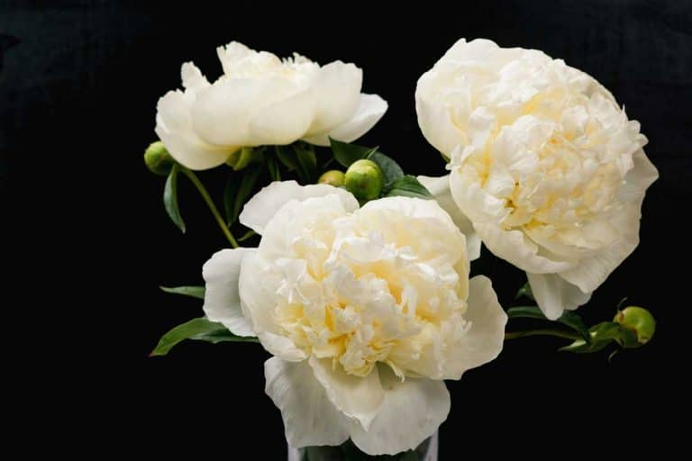 White Peonies (Pictures, Care Tips, and Shopping Links)