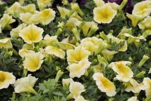 Yellow Petunias