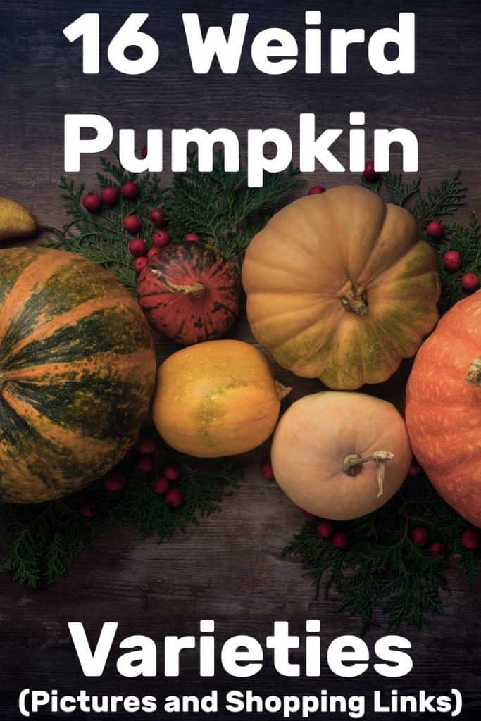 16 Weird Pumpkin Varieties (Pictures and Shopping Links)