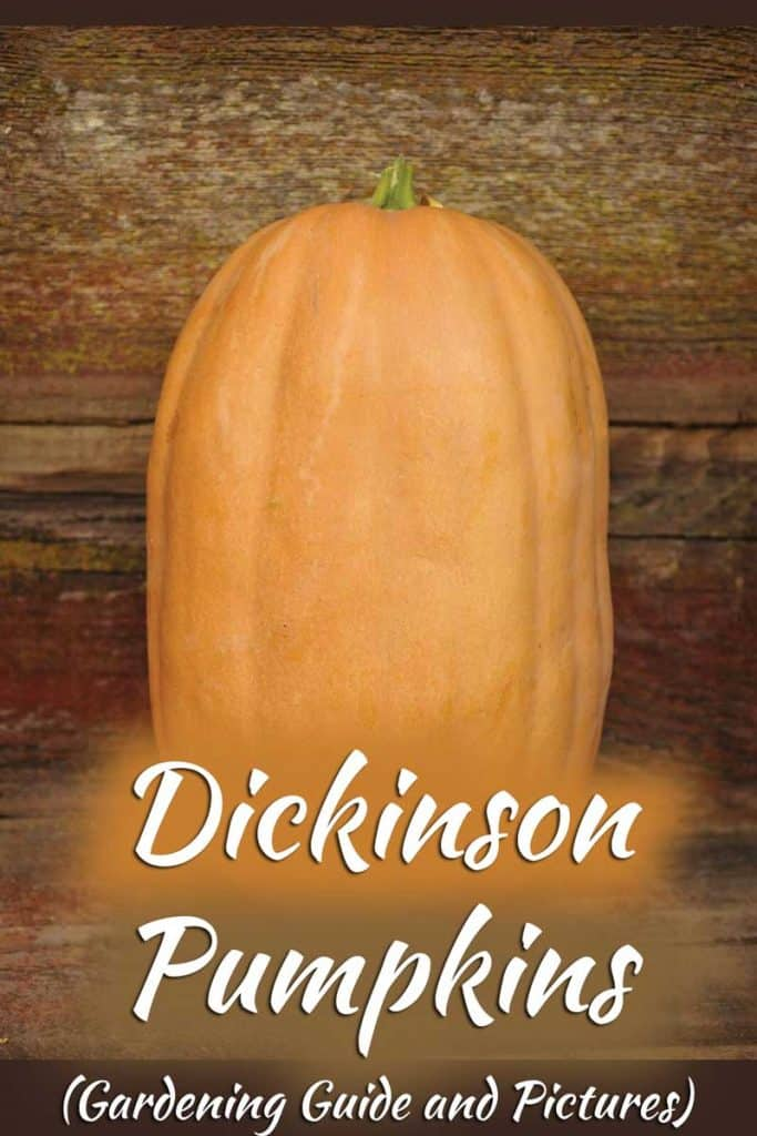 Dickinson Pumpkins (Gardening Guide and Pictures)