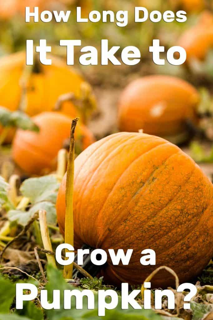 How Long Does It Take to Grow a Pumpkin?