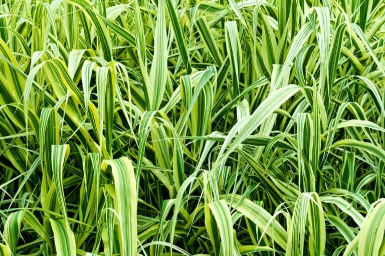 19 Types of Ornamental Sedges That Would Look Great in Your Garden