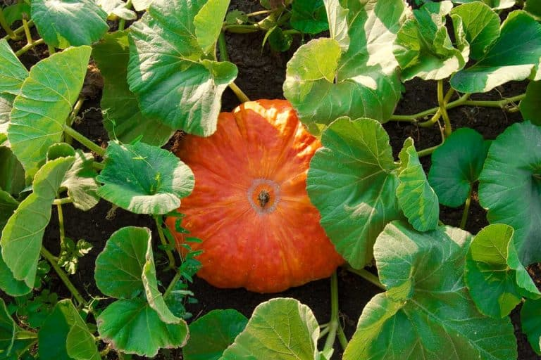 How Many Pumpkins Can You Expect per Plant?