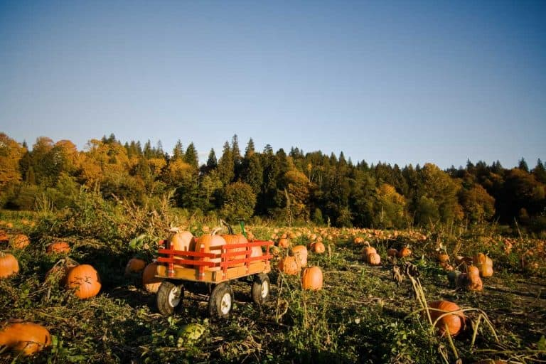 How and When to Harvest Pumpkins