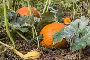 How To Control Pumpkin Vines [6 Practical Tips!]