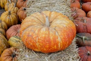 How To Grow Cinderella Pumpkins? (Gardening Tips and More)