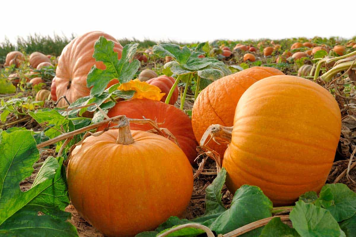 Pumpkins in the field, How to Grow Pumpkins in Florida