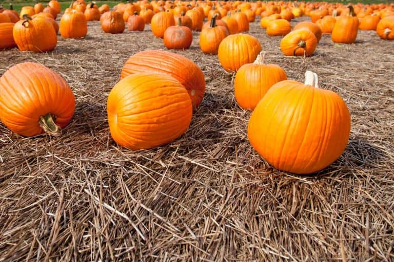 How to Grow Pumpkins in Texas?
