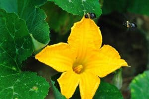 What Are Pumpkin Plant Flowers Like?