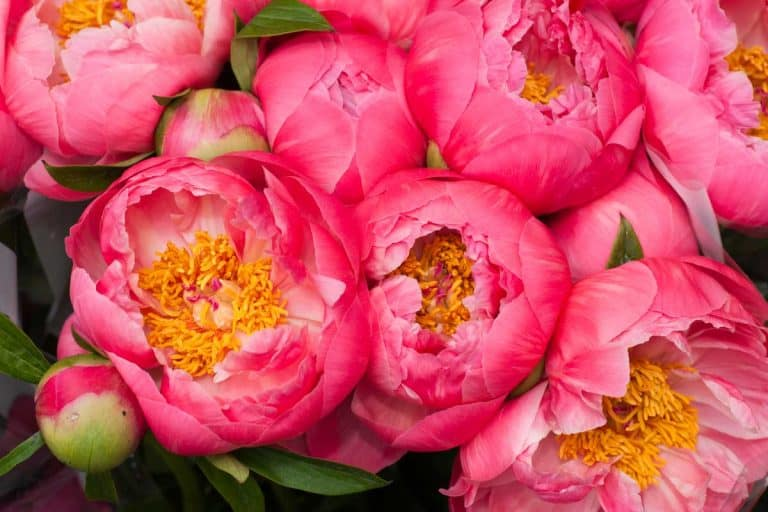 When and How to Use Fertilizer for Peonies