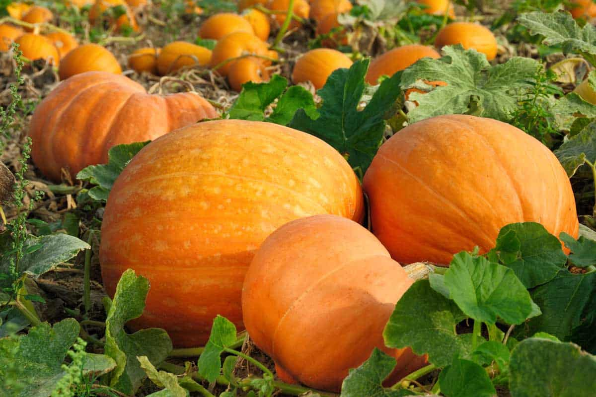 What Is The Best Time To Start Planting Pumpkins