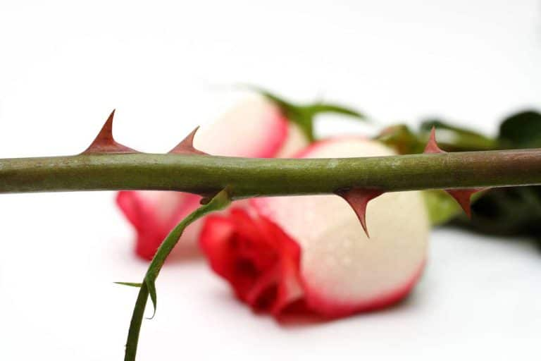 Why Do Roses Have Thorns?