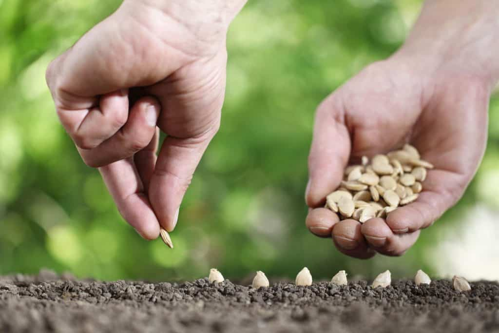 Man planting pumpkin seeds and spacing them apart