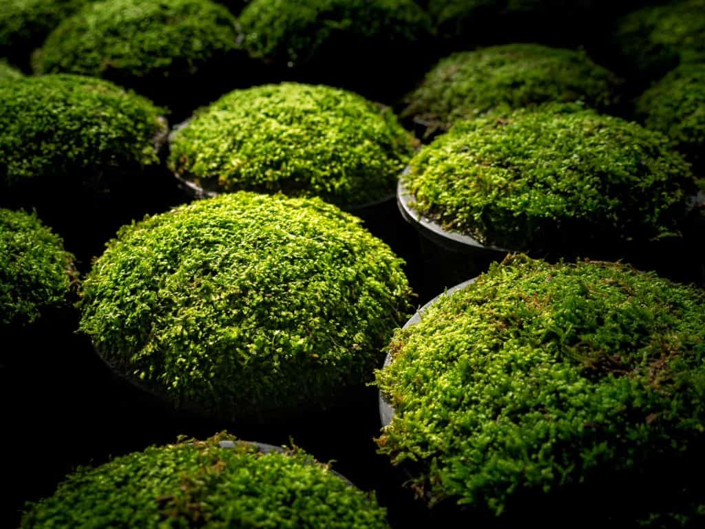 Moss Put in a Pots in a Row under sunlight