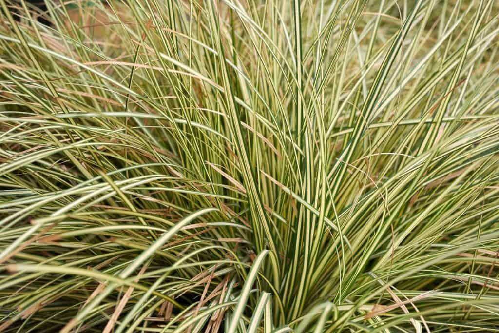 Sedge Grass