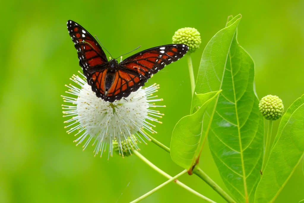 `A butterfly on a buttonbush plant