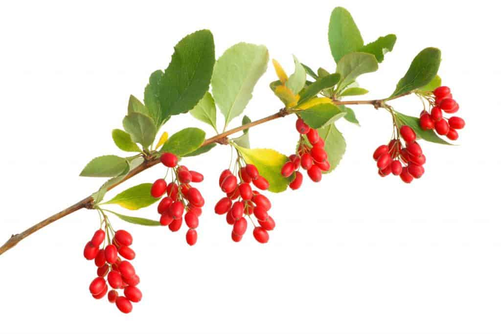 A close up photo of Barberries on a white background