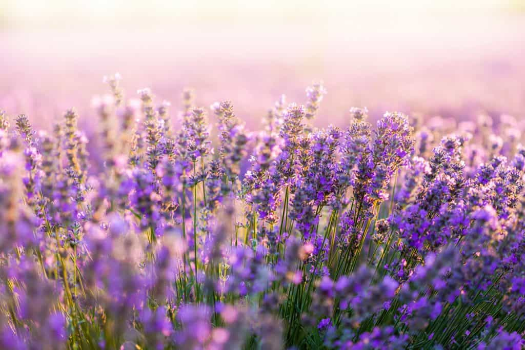 A field of Lavender flower