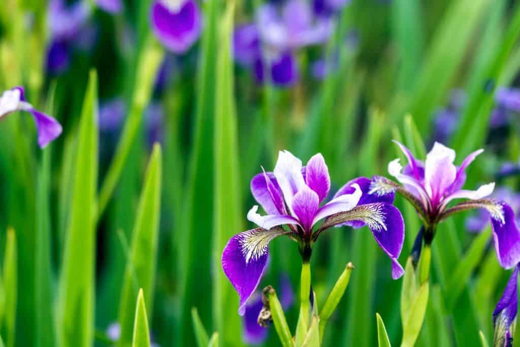 A garden of violet Siberian Iris