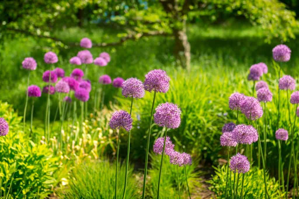Beautiful field of violet alliums