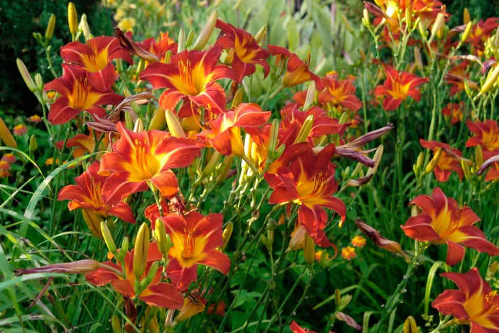 Beautiful red and yellow day lilies