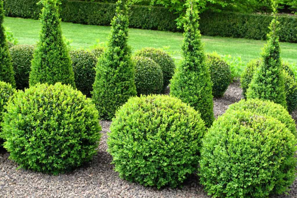 Buxus shrubs or Boxwood shrub planted on the side