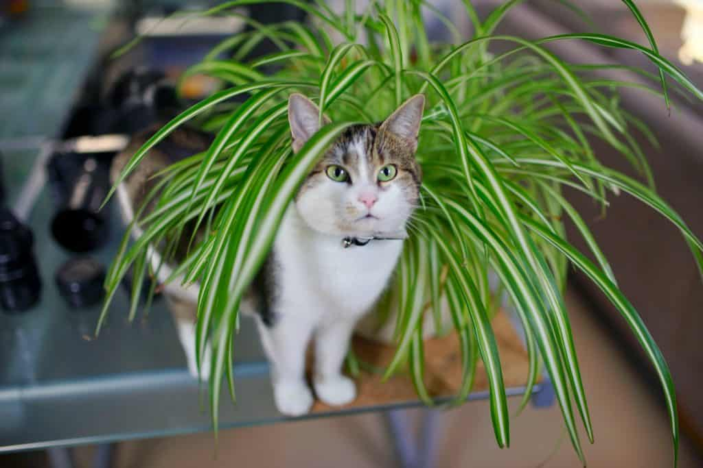 Cat playing with owners spider plant