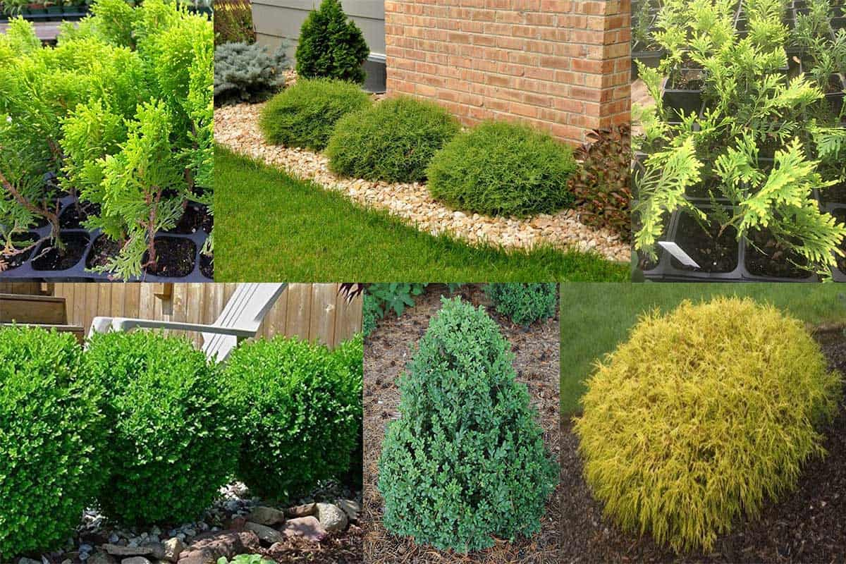 19 Dwarf Evergreen Shrubs for Full Sun - Garden Tabs