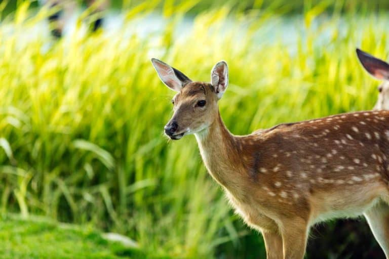 Do Deer Eat Peonies (And 5 Ways to Prevent That)