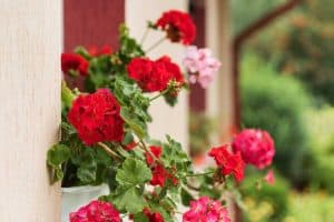 Do Geraniums Need Full Sun?