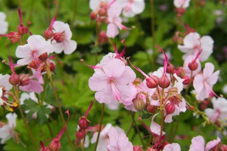 Geranium Biokovo (Care tips, pictures and links)