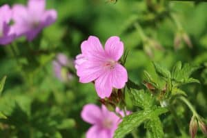 Geranium Endressii [Care Tips & Pictures]